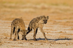 Duas hienas manchadas no campo aberto Imagem de Stock Royalty Free