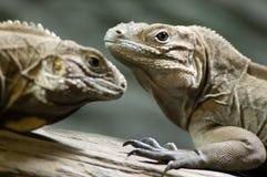 Duas iguanas imagens de stock