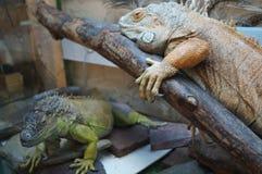 Duas iguanas Fotografia de Stock Royalty Free