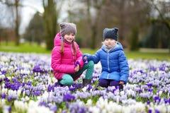 Duas irmãs mais nova que escolhem o açafrão florescem no prado de florescência bonito do açafrão Imagens de Stock Royalty Free