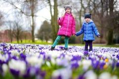 Duas irmãs mais nova que escolhem o açafrão florescem no prado de florescência bonito do açafrão Imagens de Stock