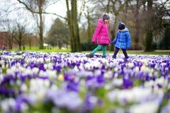 Duas irmãs mais nova que escolhem o açafrão florescem no prado de florescência bonito do açafrão Fotografia de Stock Royalty Free