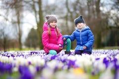 Duas irmãs mais nova que escolhem o açafrão florescem no prado de florescência bonito do açafrão Fotografia de Stock