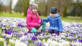 Duas irmãs mais nova que escolhem o açafrão florescem no prado de florescência bonito do açafrão na mola adiantada Imagens de Stock Royalty Free