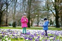Duas irmãs mais nova que escolhem o açafrão florescem no prado de florescência bonito do açafrão na mola adiantada Foto de Stock Royalty Free