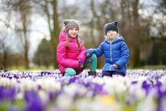 Duas irmãs mais nova que escolhem o açafrão florescem no prado de florescência bonito do açafrão na mola adiantada Fotos de Stock Royalty Free