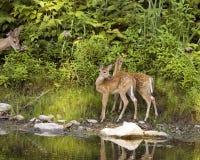 Duas jovens corças dos cervos de Whitetail Foto de Stock