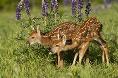 Duas jovens corças em flores do lupine Fotografia de Stock Royalty Free