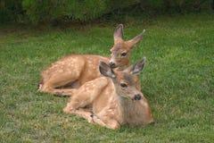 Duas jovens corças em repouso Imagens de Stock Royalty Free