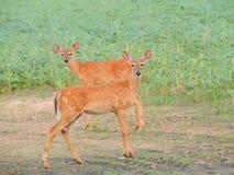Duas jovens corças Frolicky Imagem de Stock Royalty Free