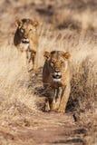 Duas leoas aproximam-se, andando em linha reta para a câmera Imagens de Stock