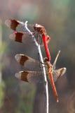 Duas libélulas Imagem de Stock