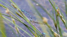 Duas libélulas do norte do bluet que reproduzem vídeos de arquivo