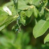 Duas libélulas na folha Foto de Stock Royalty Free