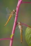 Duas libélulas no pokeweed Imagens de Stock