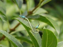 Duas libélulas que reproduzem na folha Foto de Stock Royalty Free