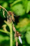Duas libélulas que sentam-se em uma haste seca Fotografia de Stock Royalty Free