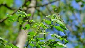 Duas libélulas sentam-se em uma folha a eles que o terceiro voa acima video estoque
