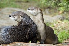 Duas lontras Foto de Stock