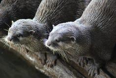 Duas lontras Fotografia de Stock Royalty Free
