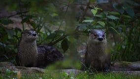 Duas lontras gigantes que olham em torno do alertado video estoque