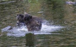 Duas lutas de Cubs de urso Fotos de Stock