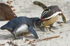Duas lutas do demersus do Spheniscus do pinguim do africano imagem de stock