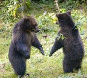 Duas lutas do jogo dos filhotes de urso marrom imagens de stock royalty free