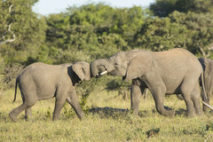 Duas lutas juvenis do jogo do elefante africano (africana do Loxodonta) Fotos de Stock Royalty Free