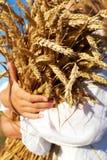 Duas mãos que guardam pontos dourados do trigo no campo fotos de stock royalty free