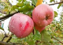 Duas maçãs frescas no ramo de árvore da maçã fotos de stock royalty free