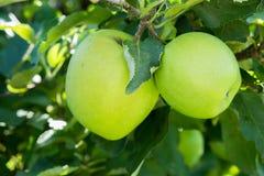 Duas maçãs verdes cercadas pelas folhas Foto de Stock Royalty Free