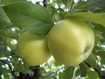 Duas maçãs verdes em uma árvore fotografia de stock royalty free