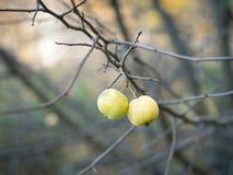 Duas maçãs verdes nos ramos sem as folhas no outono estacionam Foto de Stock Royalty Free