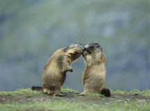 Duas marmota Foto de Stock Royalty Free
