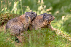 Duas marmota alpinas Imagem de Stock Royalty Free