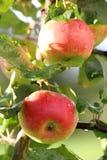 Duas maçãs em uma filial Fotografia de Stock