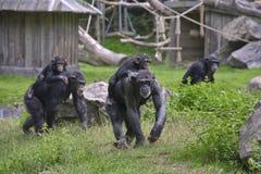 Duas matrizes do chimpanzé (troglodytes da bandeja) Foto de Stock