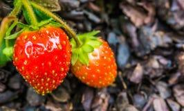Duas morangos suculentas vermelhas maduras em um fim da planta acima do macro fotografia de stock royalty free