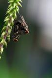 Duas moscas Foto de Stock