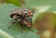 Duas moscas Fotografia de Stock