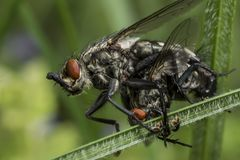 Duas moscas grandes que acoplam-se na grama verde foto de stock