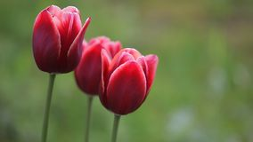 Duas obscuridade bonita - flores vermelhas filme