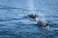 Duas orcas que nadam Imagem de Stock
