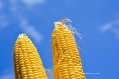 Duas orelhas de milho frescas Fotos de Stock