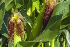 Duas orelhas de milho na haste no campo Fotos de Stock Royalty Free