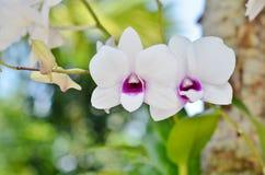 Duas orquídeas brancas com um centro roxo Foto de Stock