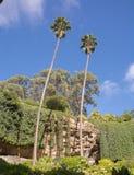 Duas palmeiras altas Imagem de Stock
