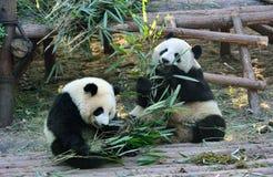 Duas pandas gigantes Fotografia de Stock