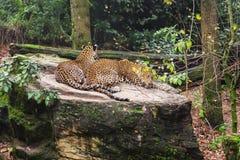 Duas panteras de Sri Lanka descansam em um grande pedregulho no jardim zoológico fotografia de stock